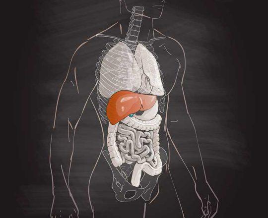 Fígado, o órgão responsável por diversas funções vitais do organismo