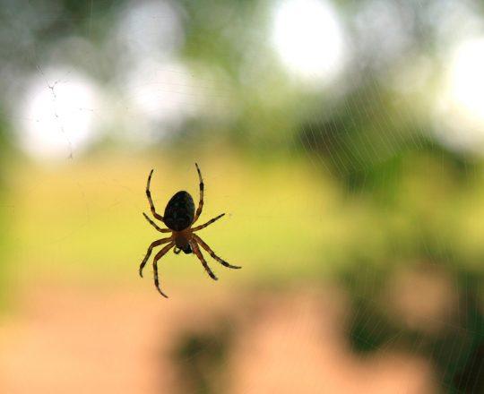 Veneno de aranha pode tratar síndrome do intestino irritável